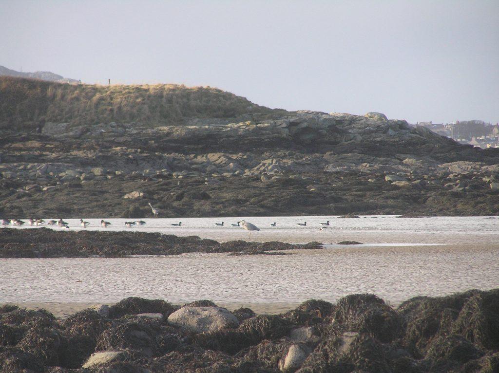 coastal sea birds wading on sea shore